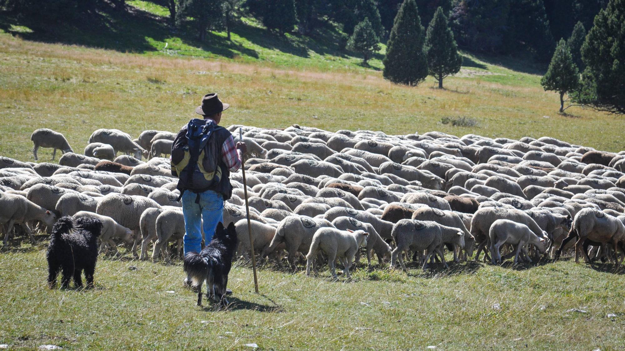berger avec ses chiens et son troupeau