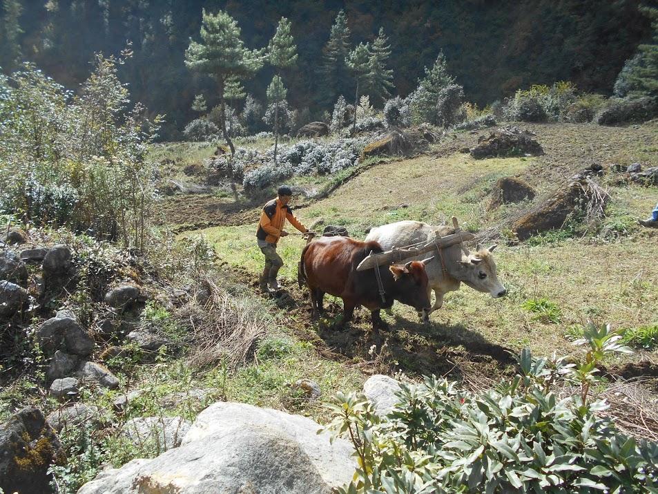 Scène rurale dans le Solu Khumbu, labour avec des boeufs, Népal