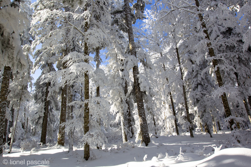 Forêt du Vercors en hiver