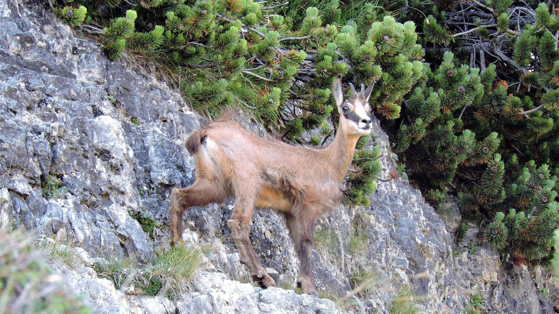Jeune chamois dans la Réserve Naturelle des Hauts-Plateaux du Vercors