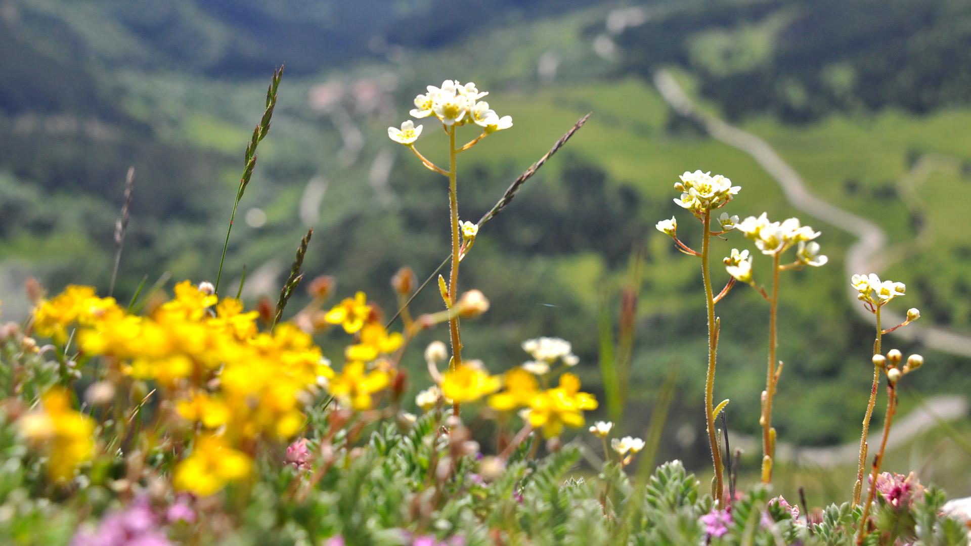 Flore dans les belles prairies du Mont Jocou