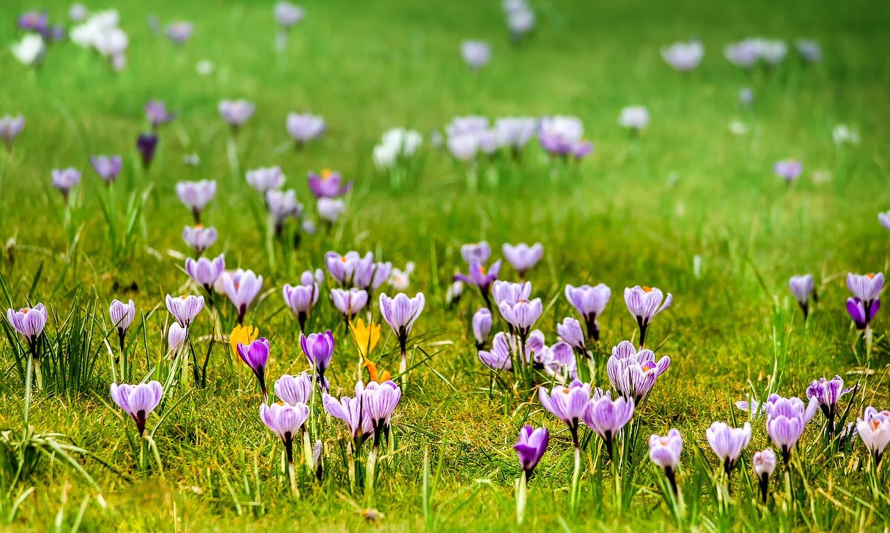 crocus au printemps dans le Vercors
