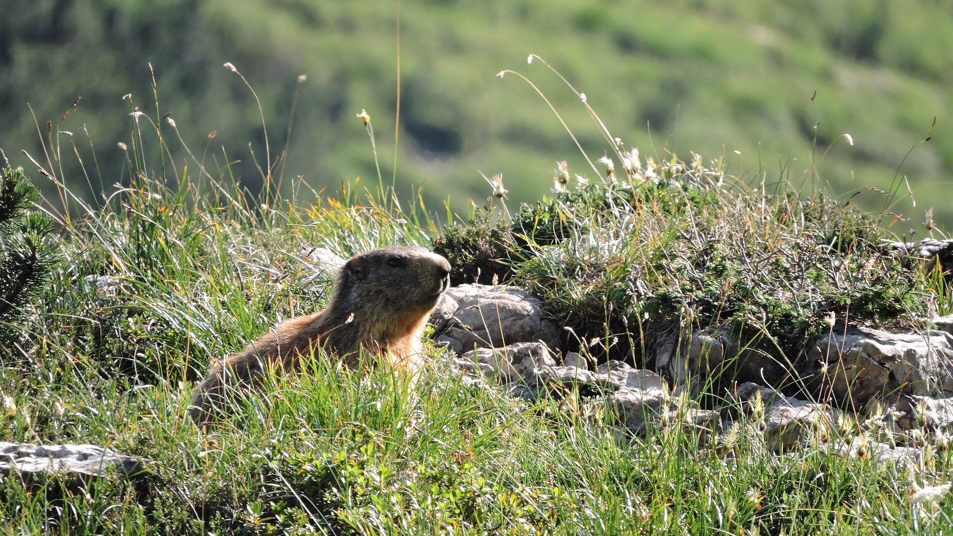 Marmotte dans les alpages !
