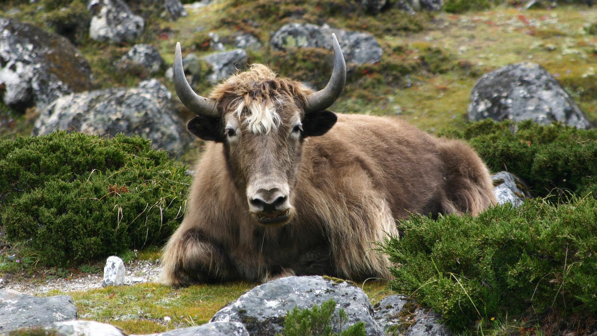 Un yak en alpage au Népal