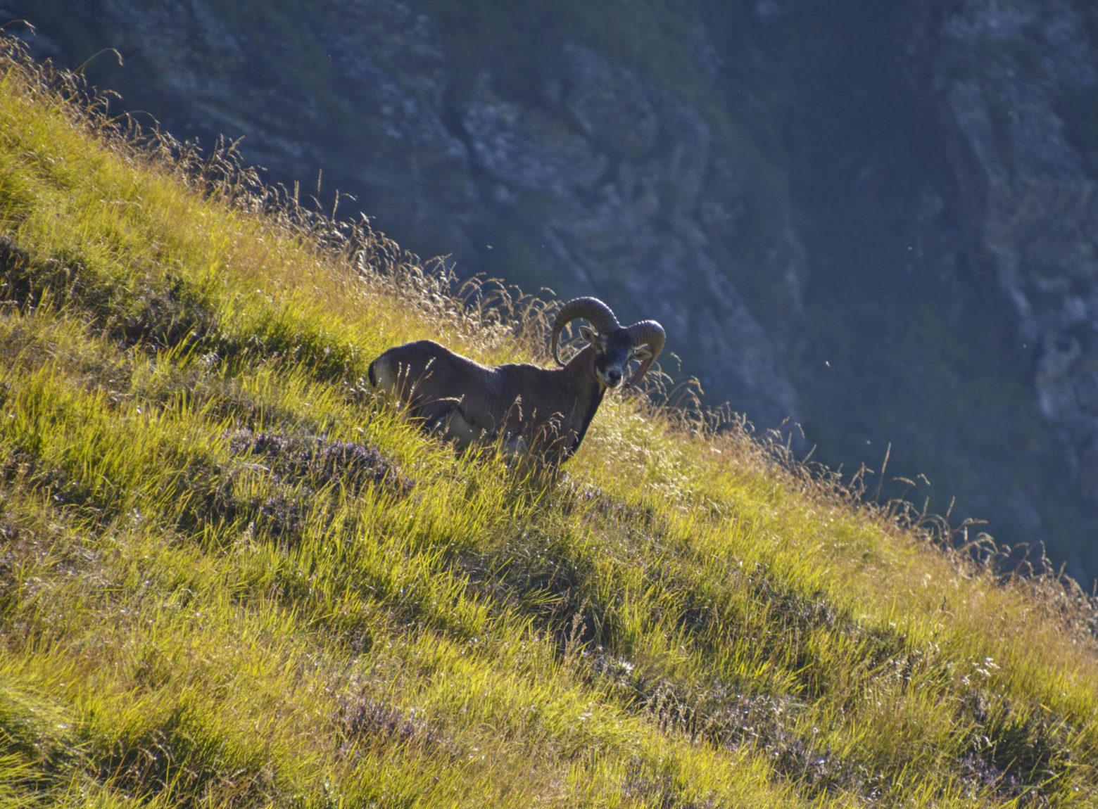 Mouflon dans les alpages © adobestock.com