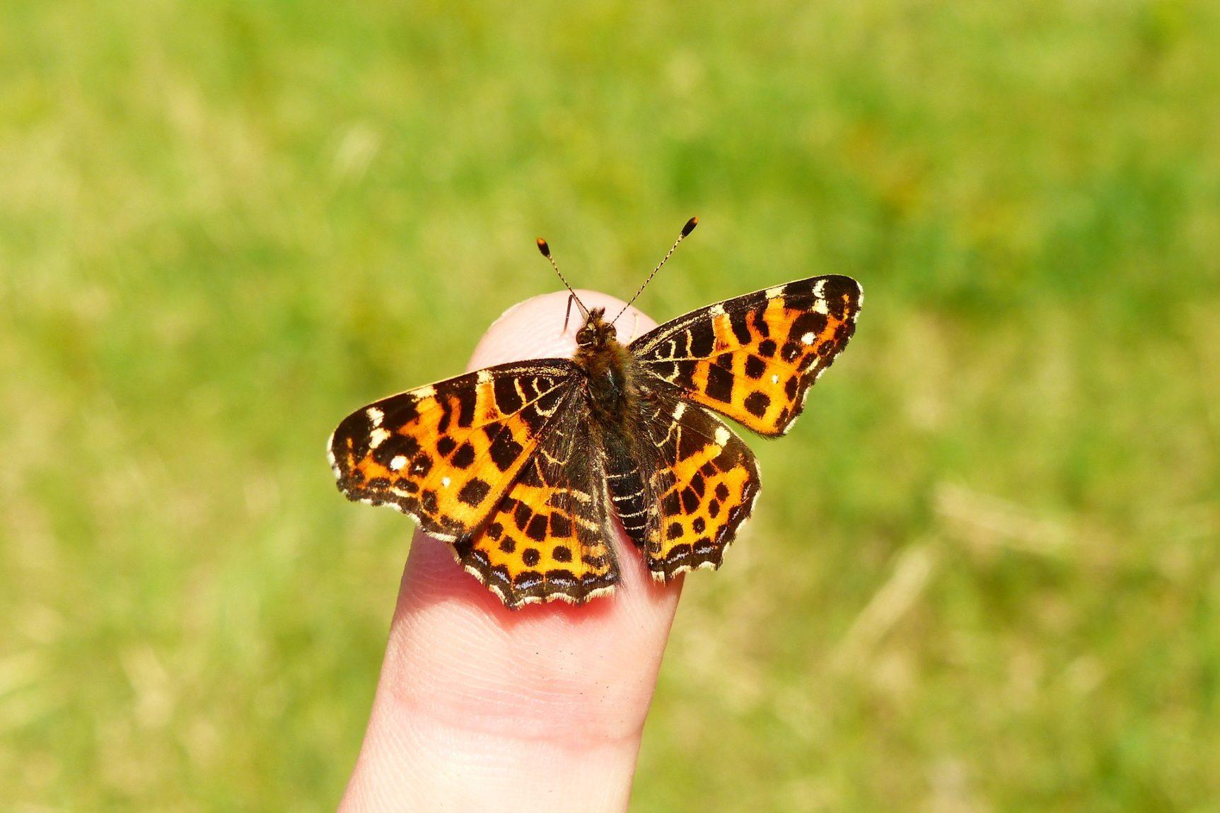 Papillon en Chartreuse