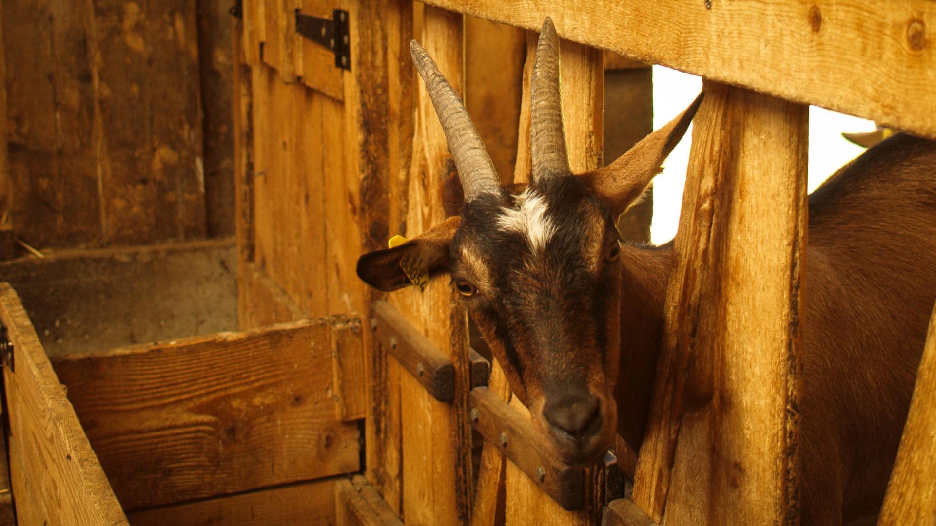 Rencontre à la chèvrerie en Chartreuse!
