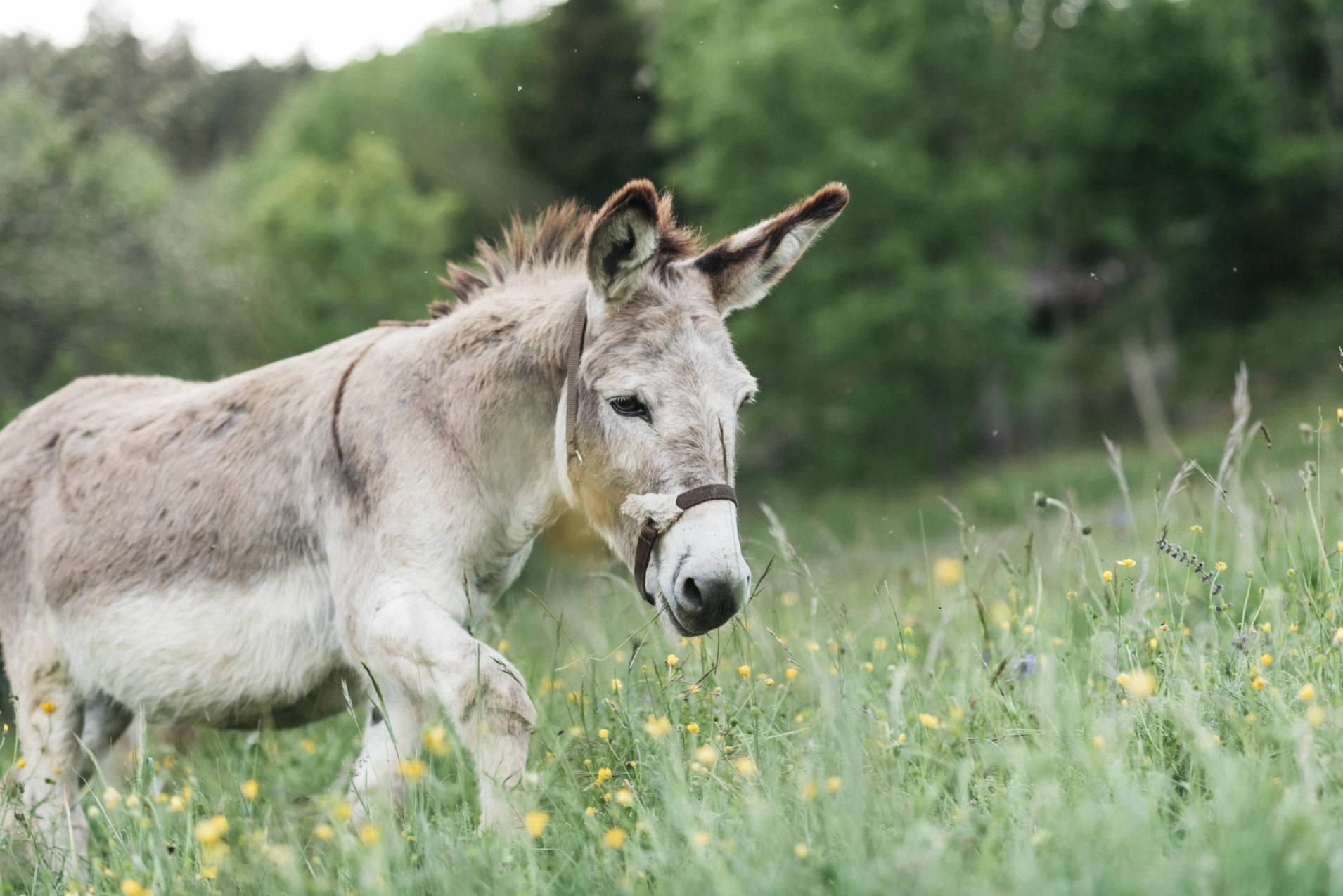 Un âne de bât retrouve le pré - photo Maité Baldi