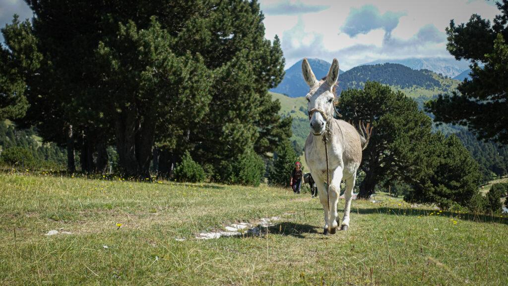 Bozzo, âne sympathique dans le Vercors